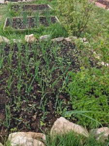 Green Living | My First Year on The Allotment 15